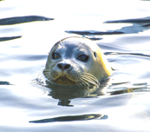Wildlife on Quadra Island, seals